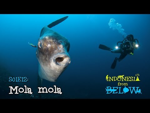 Mola mola: Legend of the Giant Swimming Head | Indonesia from Below (S01E12) | [UHD/4K]
