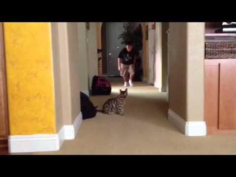 Bengal cat wrestles boy