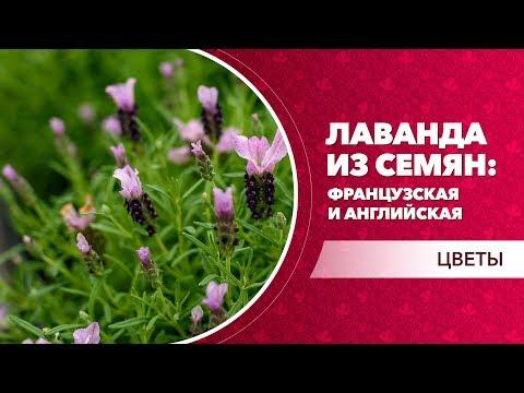 Лаванда из семян: французская и английская