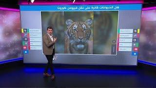 نمر وقط وكلب – أي حيوانات عرضة لفيروس كورونا؟
