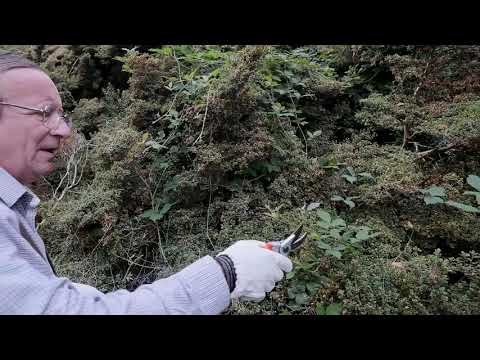 Removing brambles and their roots from within shrubs