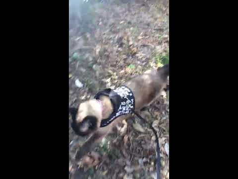 Siamese cat loves to walk like a dog!