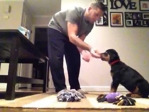 11 week old Rottweiler puppy training