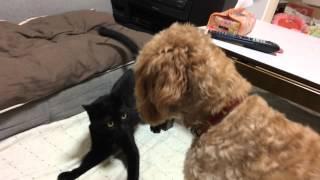 猫と犬が朝からケンカしてるところです。いきなり猫が犬に怒られて、取...