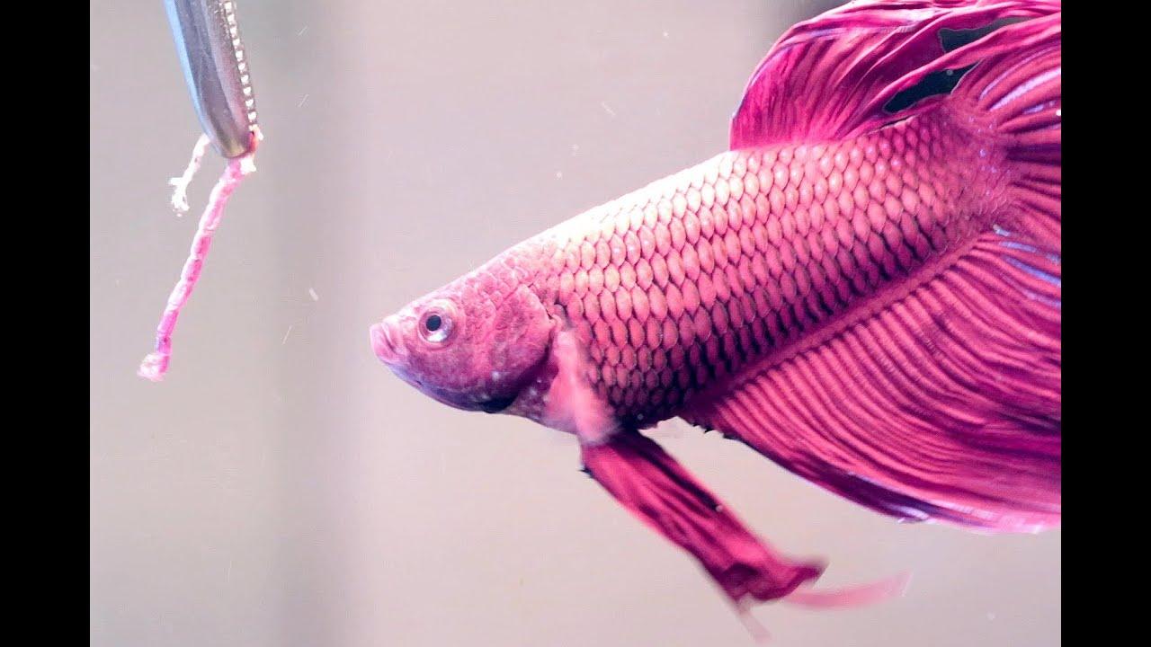 Feeding siamese fighting fish betta splendens youtube for Why do betta fish fight