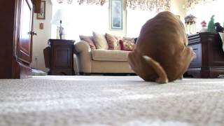 My dog Morrison SCOOTING on the carpet like 7 times! [Butt Drag]
