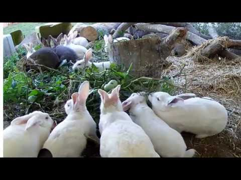 Our Rabbitry Live Stream more new additions and a treat.  We are cleaning out the garden.