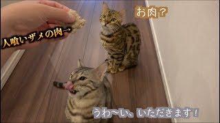 猫たちに人喰いザメの肉をあげたら予想外の展開に・・・
