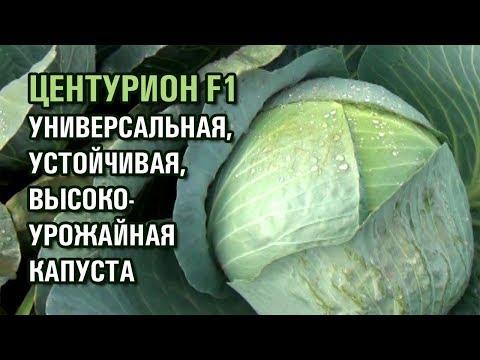КАПУСТА ЦЕНТУРИОН F1 - УНИВЕРСАЛЬНЫЙ, УСТОЙЧИВЫЙ, ВЫСОКОУРОЖАЙНЫЙ ГИБРИД (01-11-2019) | белокочанная | капусты | капусту | капуста | высокий | урожай | семена | купить | гибрид | сорт