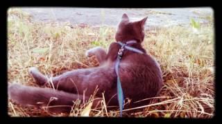 Кошка на прогулке. Прогулка с кошкой. Кошка на поводке. Лето 2017