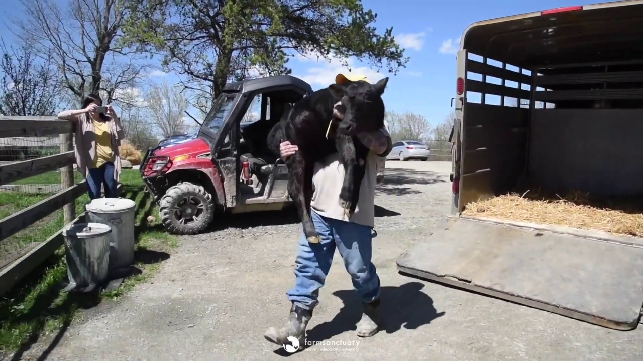 Two adorable orphaned calves meet each other for the first time