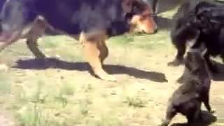 Собаки разнимают дерущихся котов