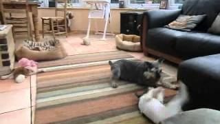Miniature Schnauzer And Jack Russell Playing.