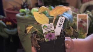 Flower Gardens : How to Grow Purple Coneflower (Echinacea Purpurea)