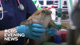 pangolin-facing-greater-threat-extinction-coronavirus-outbreak