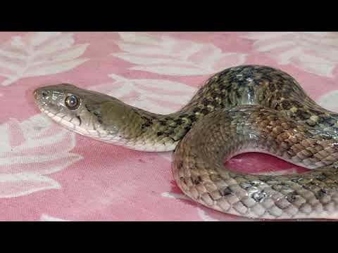 catching-2-snakes-in-boys-hostel-of-chirayu-medical-college-bhopal,-m.p
