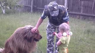 Тибетский мастиф. Приучение собаки к ребенку.
