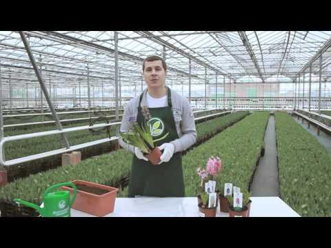 Как сохранить гиацинт после цветения