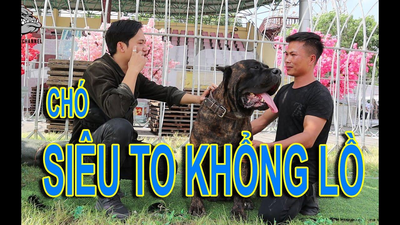 """[DOG REVIEW] Chó Siêu To Khổng Lồ-CANE CORSO """"Ngao Ý"""" / Hùng Chó Channel"""