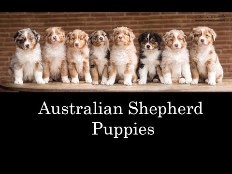 Australian Shepherd Puppies 2017