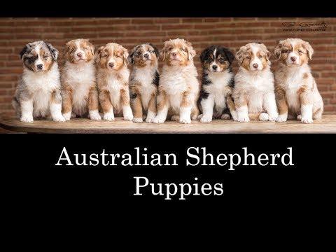 Australian Shepherd Puppies 2017