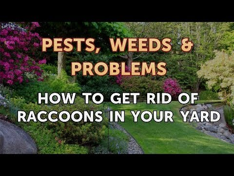 How to Get Rid of Raccoons in Your Yard - YouTube