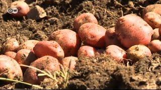 Preserving Peru s potato power   Global Ideas