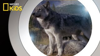 Living With Wolves | National Geographic Kids