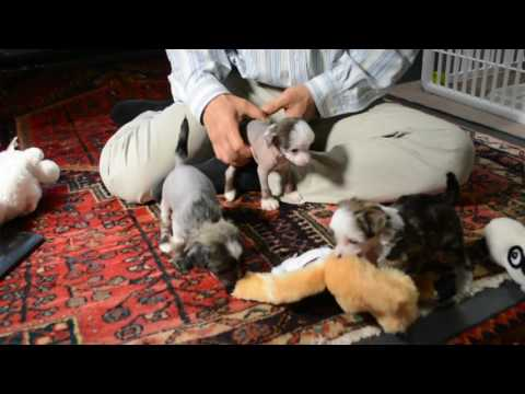 4 26 17 Mythic Kingdom Chinese Crested Diva pups with Tim