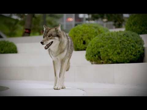 Autostadt // Wölfe in der Autostadt - Wilder Filmdreh mit tierischen Stars