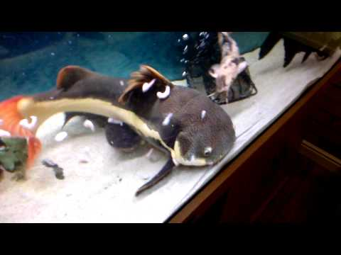 Red Tail Catfish eats twice/thrice its size. from YouTube · High Definition · Duration:  15 seconds  · 1,000+ views · uploaded on 1/29/2017 · uploaded by BladeTV