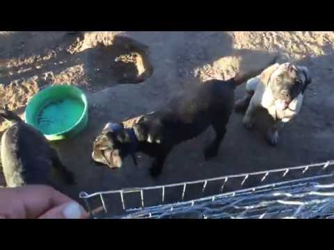 Mastiff Puppies