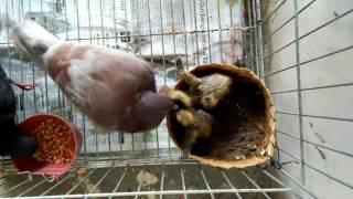 merpati memberi makan anaknya