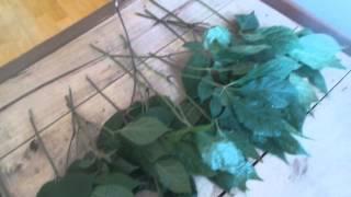 백두산 장뇌산삼 잎을 말리고있습니다. bestsansa…