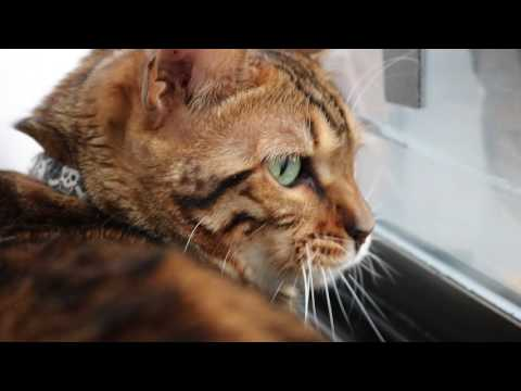 My Bengal Cat Chirping