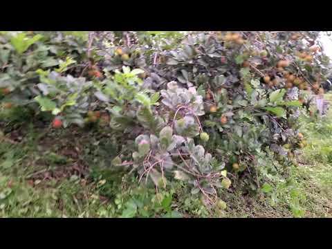 Rambutan紅毛丹【R191離核品種】苗高約40-90公分【另有賣R156黃毛丹】