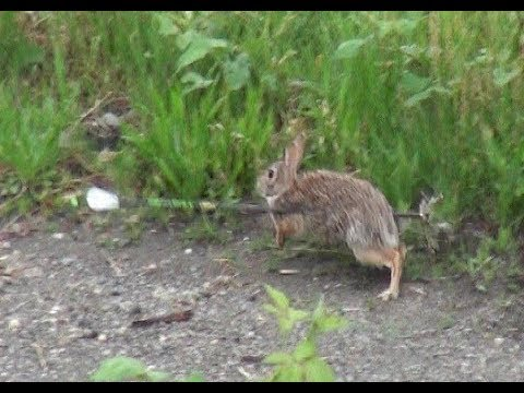 Youth Bowhunter makes 2 double archery kills on Cottontail Rabbits – Great Shooting