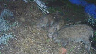 ある時、母イノシシが4頭のかわいいウリ坊を連れて人里へ降りてきました...