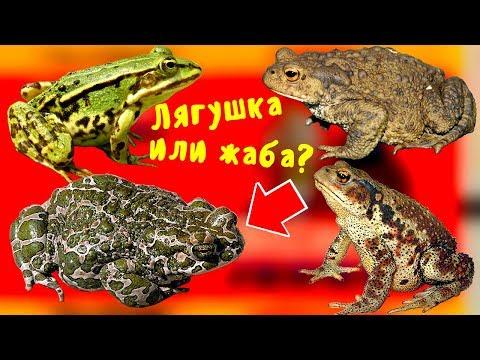 Вопрос: Почему лягушек не пугает ярко красный клюв аиста?