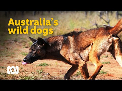 The Devastating Impact Of Australia's Wild Dogs 🐕 | Meet The Ferals