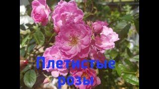 Замуж за американца/Розы цветут/Осторожно, мелия - ядовитое дерево, с лечебными свойствами!