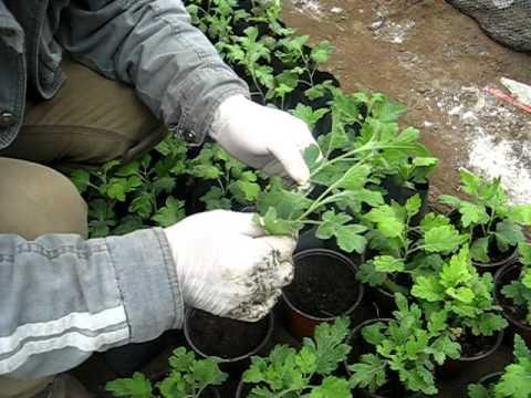 Waldo cultivo de crisantemos en macetas avi youtube - Como cultivar crisantemos ...