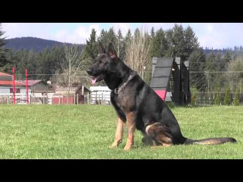 Obedience Trained IPO Versatility German Shepherd