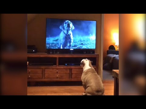 Bulldog Goes Crazy For Famous Super Bowl Ad
