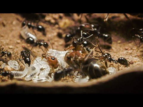 Bloodthirsty Ants Decapitate Queen | Empire Of The Desert Ants | BBC Earth