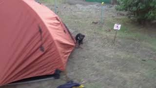 Incontro ravvicinato con un raro diavolo della Tasmania nel campeggio di Maria Island (Tasmania)