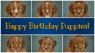 Nova Scotia Duck Tolling Retrievers, Toller Puppyhood and 1st Litter Birthday!