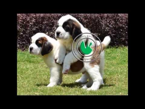 Saint Bernard Pups For Sale From India's Biggest Kennel - Variety Kennel