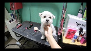 How to groom a maltipoo (2nd style)