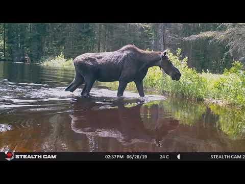 Algonquin Park Trail Cam Footage 2019